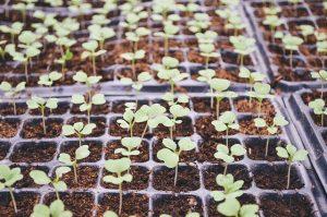 成長する芽